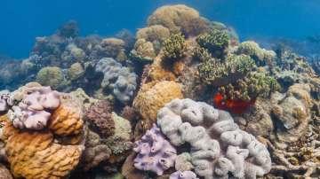 Понижаването на температурата на морската вода води до избелване на корали