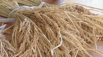 Доказаха: Българските сортове ориз са по-добри от вносните