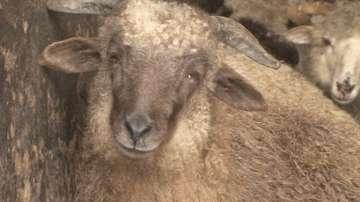България и Турция възстановяват търговията на животни