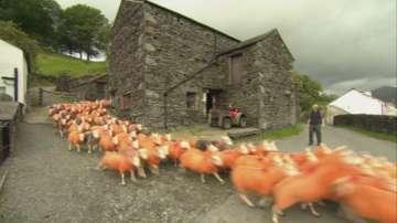 Фермер боядиса овце, за да не му ги крадат