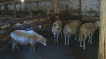 Възобновяват евтаназията на животни заради чумата в Ямболско и Бургаско
