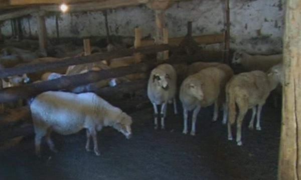 От утре се възобновява умъртвяването на животните в районите с