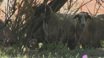 Откриха чума по овце и кози в ямболско село