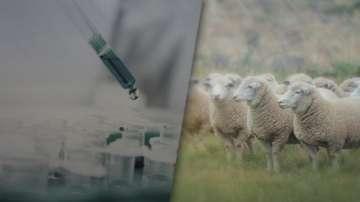 От утре започва взимането на втори проби за чума по животните в Странджа