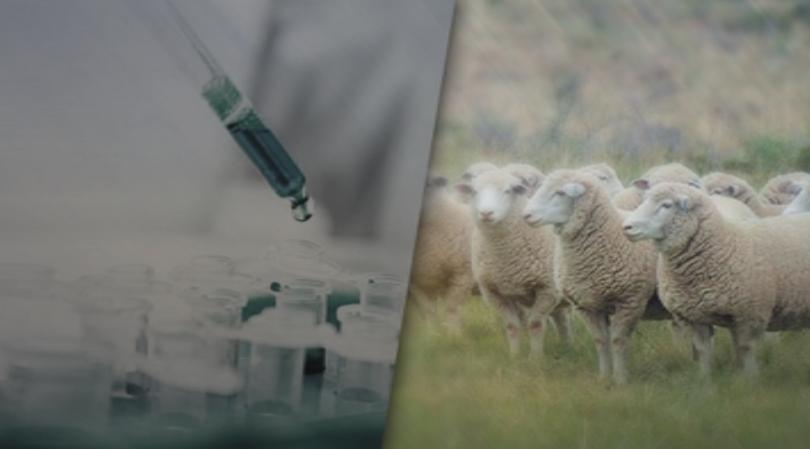 1,3 млн. лв са похарчени за чумата по дребните преживни животни