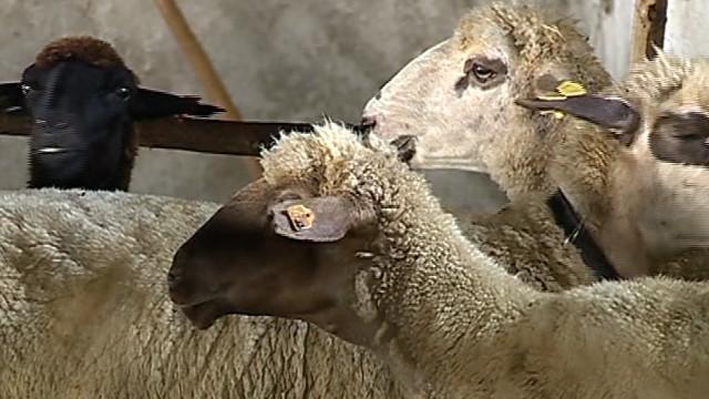 Европейска мисия идва у нас заради огнищата на чума по дребния рогат добитък