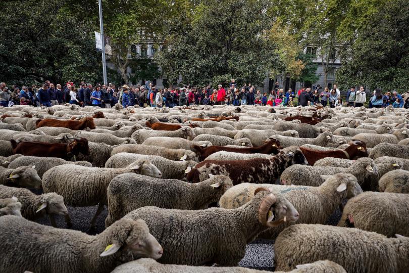 снимка 2 Овце превзеха центъра на Мадрид