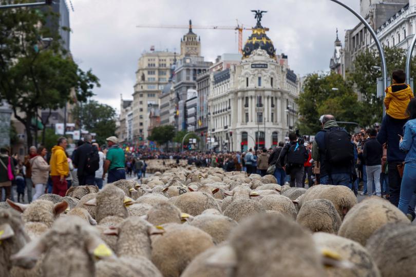 снимка 3 Овце превзеха центъра на Мадрид
