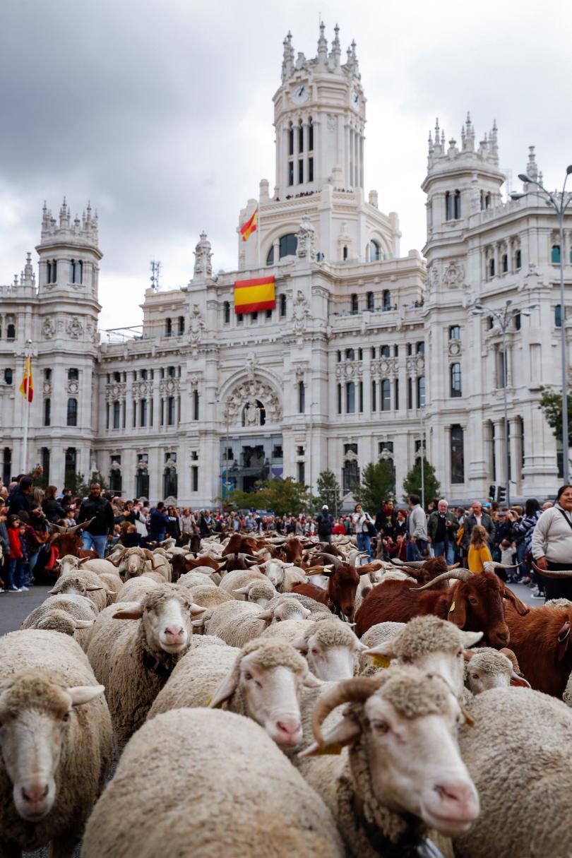 овце превзеха центъра мадрид
