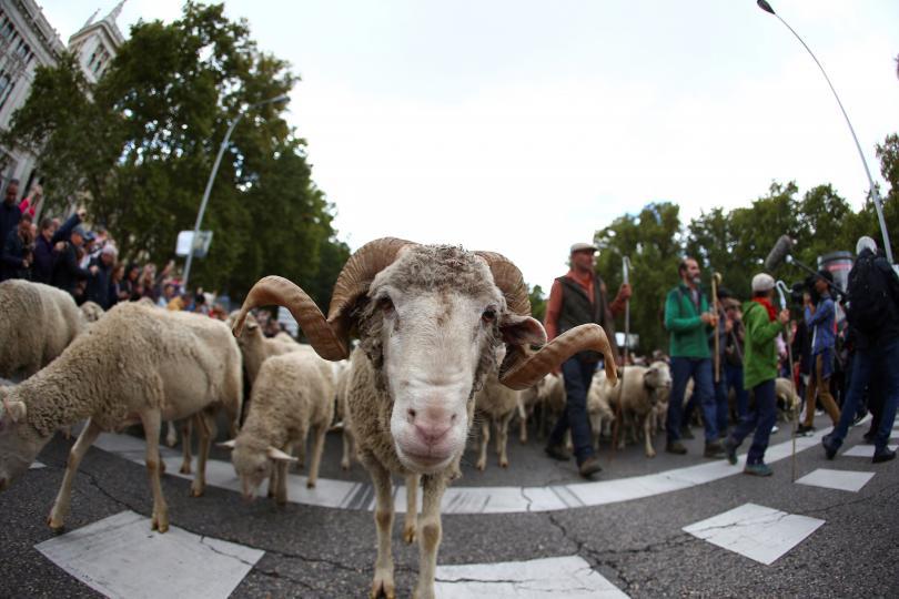 снимка 4 Овце превзеха центъра на Мадрид