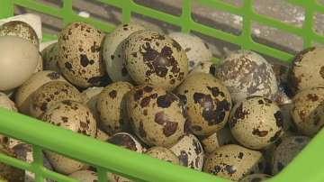 Производители на пъдпъдъчи яйца настояват за подпомагане