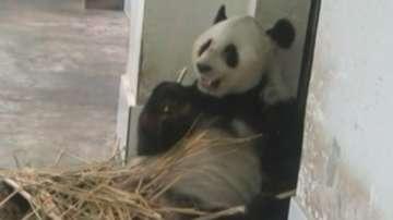 Климатик разхлажда пандите в китайски зоопарк