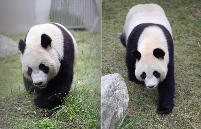 В Холандия посрещат панди от Китай