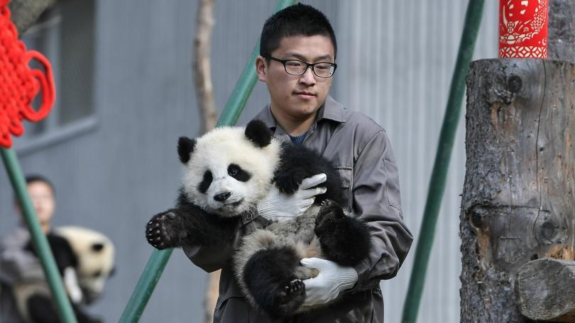 Единствените в света панди тризнаци посрещнаха китайската нова година в
