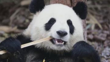 Китайски панди не се трогват от снега