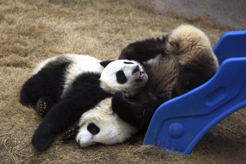 Двойка гигантски панди пристигнаха във Финландия. Те са подарък от