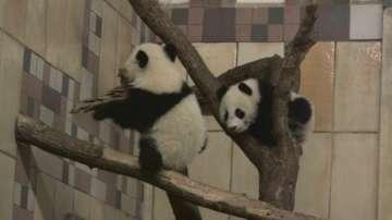 Панда близнаците от зоологическата градина във Виена навършват 6 месеца
