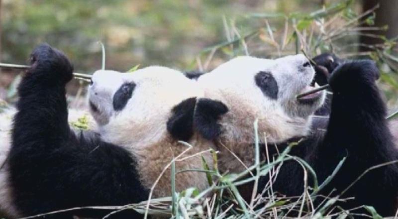 Пристигането на двойка панди се превърна във водеща новина във