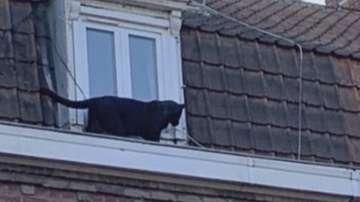 Пантера на свобода стресна жители на Лил