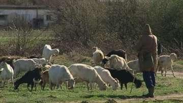 1000 лева заплата за пастир, а желаещи няма