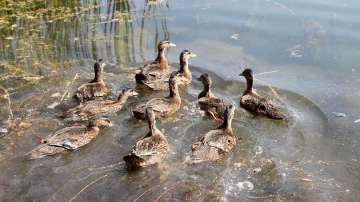 Езерото в столичния квартал Дружба се превърна в дом на 50 полудиви патици
