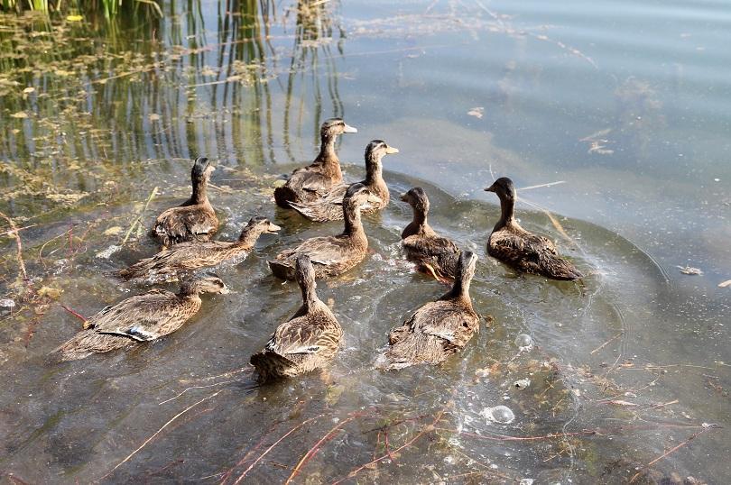 снимка 5 Езерото в столичния квартал Дружба се превърна в дом на 50 полудиви патици