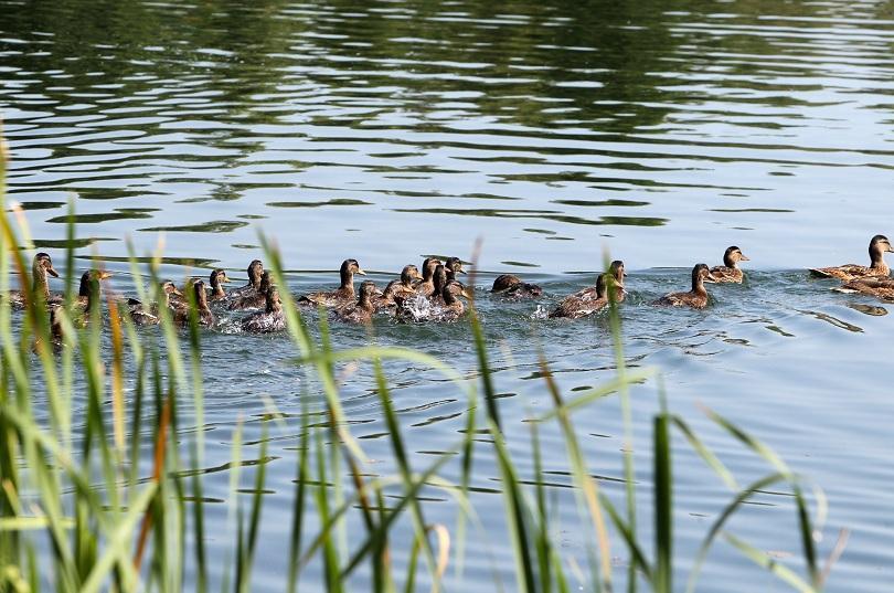снимка 3 Езерото в столичния квартал Дружба се превърна в дом на 50 полудиви патици