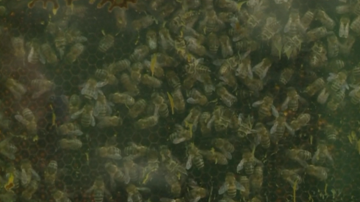 Ученици в Разлог отглеждат пчели в клас