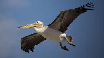 В Израел нахраниха хиляди пеликани по пътя им към Африка (СНИМКИ)