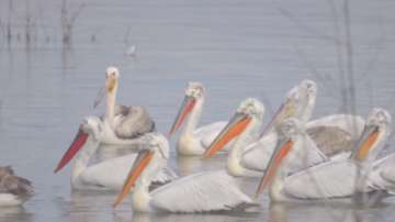Първите пеликани вече са в резервата Сребърна