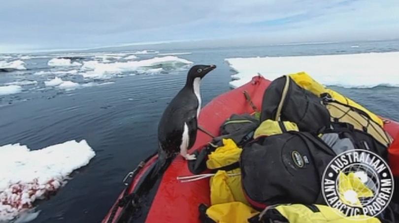Докато екипът работел в местния залив, любопитен пингвин скочил на
