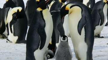 Хиляди императорски пингвинчета са се удавили в Антарктида