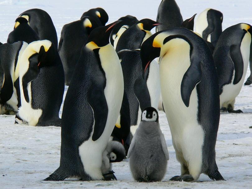 Хиляди императорски пингвинчета са се удавили, когато ледът, на който