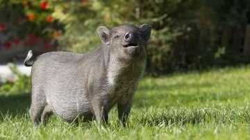 Бум на продажбите на прасета-домашни любимци в САЩ