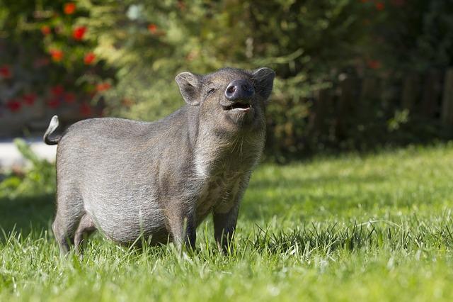 Снимка: Бум на продажбите на прасета-домашни любимци в САЩ