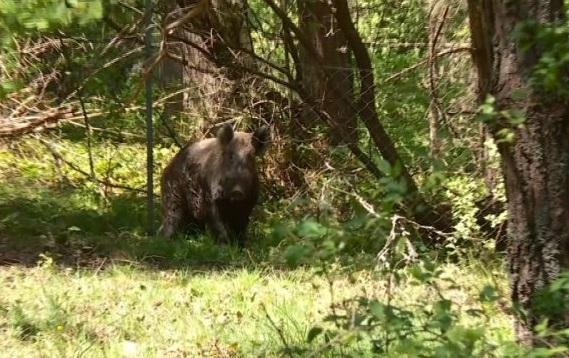 откриха огнище африканска чума дивите свине близо границата българия