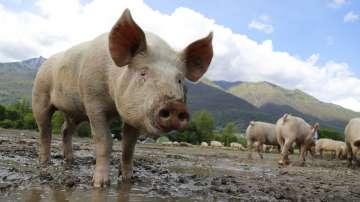 В Ямболска област 96% от домашните прасета са доброволно умъртвени