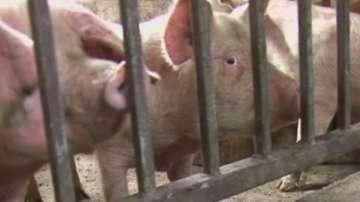 Протести в Южна България срещу принудителното избиване на домашни прасета