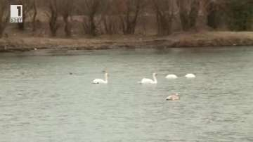 Ято лебеди зимува във водите на река Марица край Пловдив
