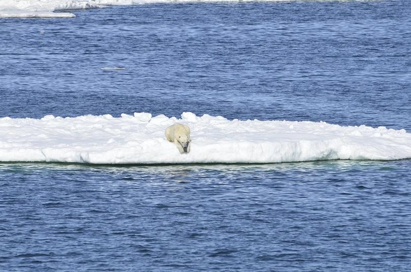 Заради отдръпващия се лед полярните мечки трябва да изминават все по-големи разстояния, за да намират основната си храна - тюлени