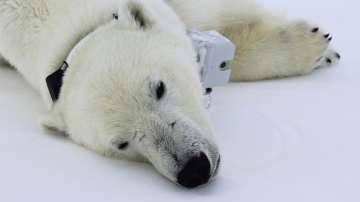 Полярните мечки намират все по-малко храна, сочи проучване
