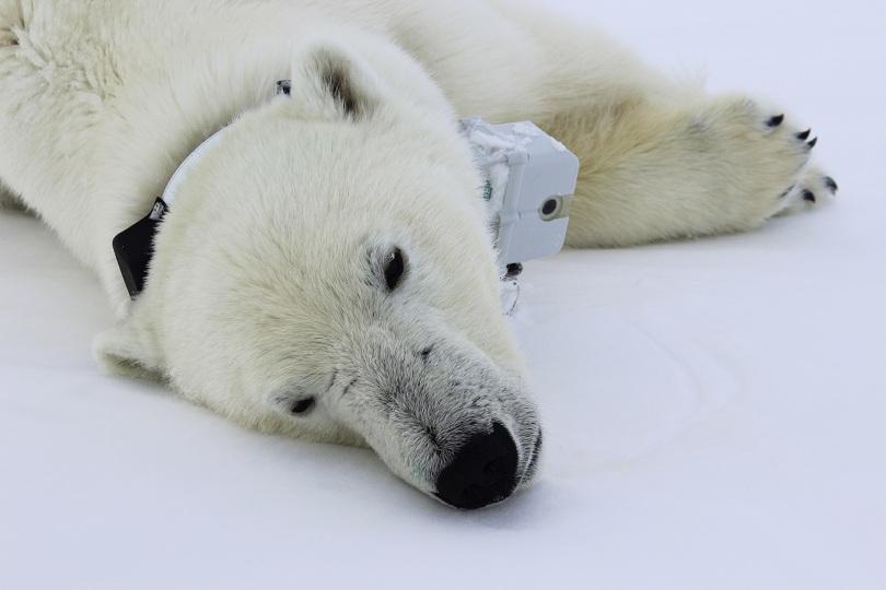 Девет женски полярни мечки носили радио нашийници, които предавали местоположение и видео на изследователите