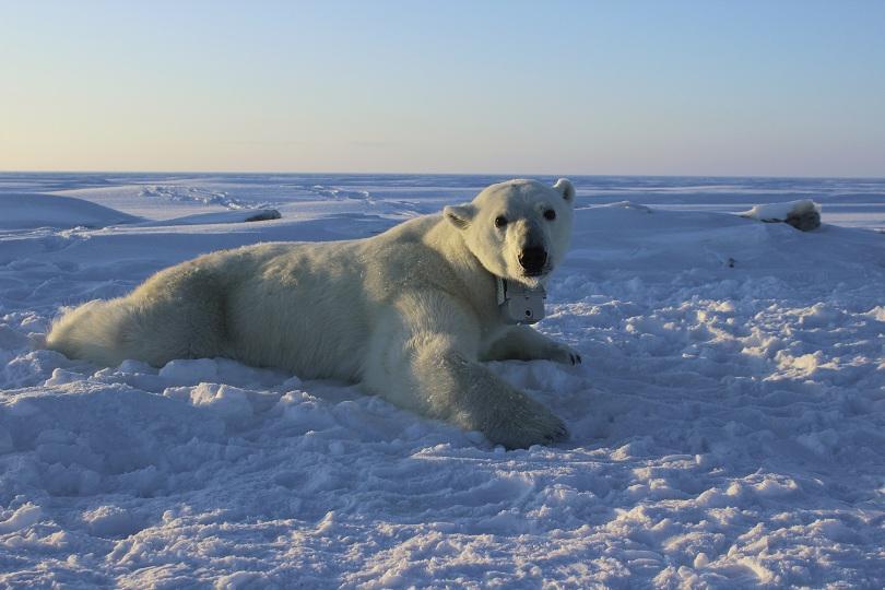 снимка 1 Полярните мечки намират все по-малко храна, сочи проучване