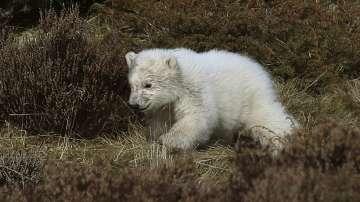 Полярно мече се роди в шотландски зоопарк (СНИМКИ / ВИДЕО)