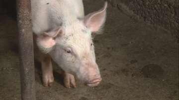 Порожанов направи оглед на оградата с Румъния срещу африканската чума по свинете