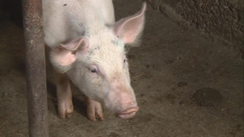 Русия временно забранява вноса на свине от България заради африканската чума