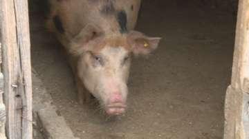 БАБХ потвърди огнище на Африканска чума при домашни свине в Бургас