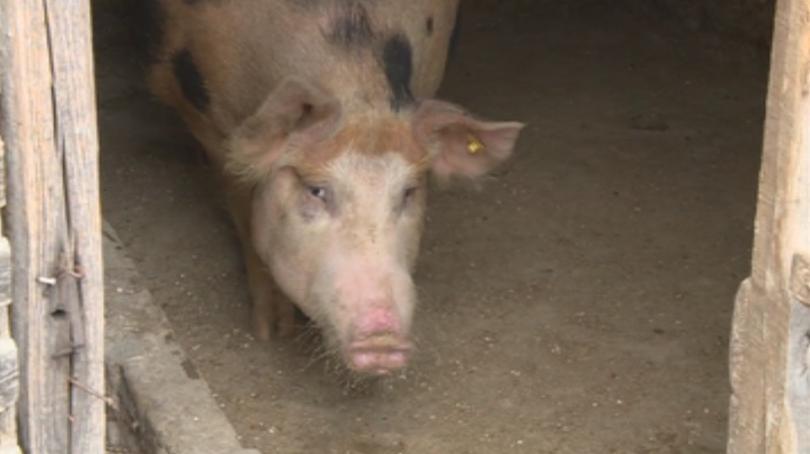 Няма чума по свинете в село Бозвелийско, опасността обаче остава.