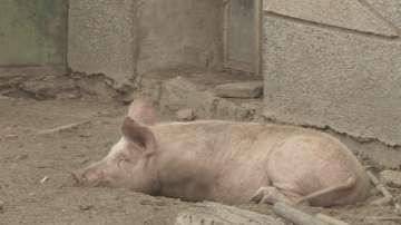 Започват спешни действия срещу чумата по свинете във Варненско
