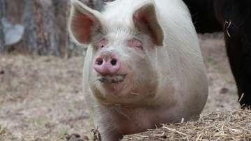 Започна евтаназията на близо 4000 прасета заради регистрираната чума край Видин